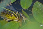 stock photo of amphibious  - A green frog - JPG