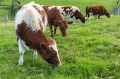 stock photo of eat grass  - Brown cows eating green grass - JPG