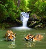 stock photo of tigress  - Siberian Tigers in water  - JPG
