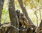 stock photo of peep  - Two Long-eared Owlets peeping from tree in olive grove on Lesvos ** Note: Visible grain at 100%, best at smaller sizes - JPG