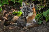 image of snuggle  - Grey Fox Vixen  - JPG