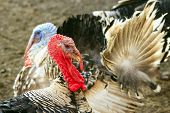 stock photo of suspenders  - turkey - JPG