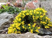 picture of cruciferous  - Draba or grits on stony flowerbed - JPG