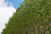 image of cottonwood  - Cottonwood treetops against the sky Palouse Washington - JPG