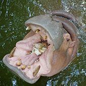 picture of hippopotamus  - closeup of hippopotamus open mouth waiting for food - JPG