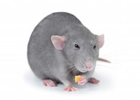 foto of rats  - Gray domestic rat isolated on white background - JPG