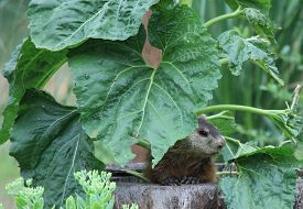 picture of groundhog  - Groundhog peaking while eating a sunflower plant  - JPG