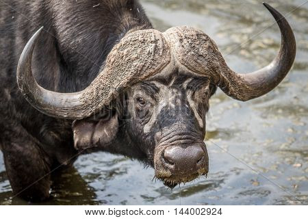 Cape Buffalo Starring At The Camera In Kruger.