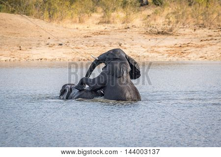 Two Elephants Playing In The Water In The Kruger.