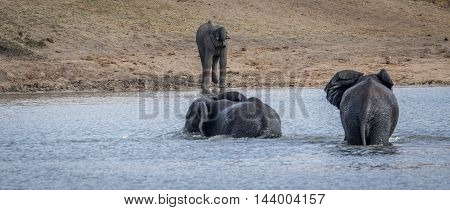 Three Elephants At A Dam In The Kruger.
