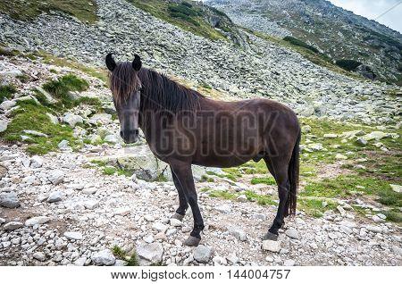 Wild horses in mountains. Horse in Retezat mountain, Romania.