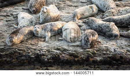 California Harbor Seals (Phoca vitulina) resting on a rock. Wilder Ranch State Park, California, USA