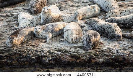 California Harbor Seals (Phoca vitulina) resting on a rock. Wilder Ranch State Park, California, USA