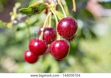 Ripe Red Cherry