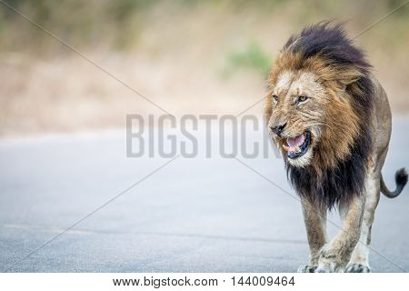 Lion Walking Towards The Camera In The Kruger.