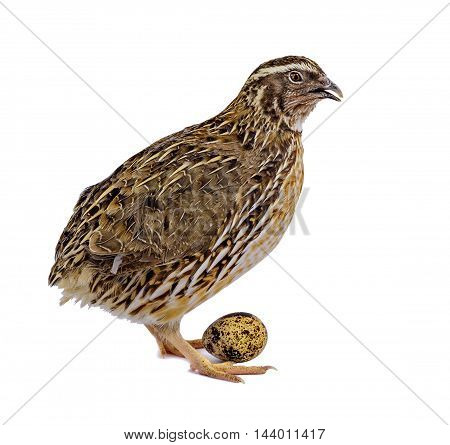 Laying hen of domesticated quail with wooden basket of eggs isolated on white background. Domesticated quails are important agriculture poultry