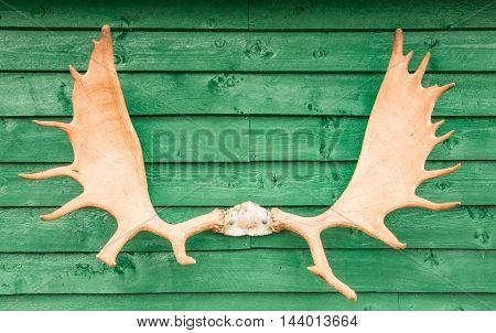 Alaskan moose antlers hanging on display on green wood plank wall