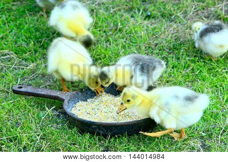 young goslings drink water from plate on the grass in the farm