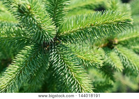 Green spruce branches close up for background