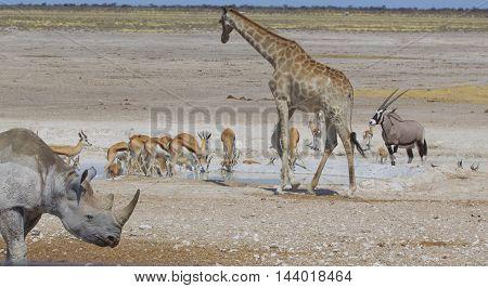 Busy waterhole in Etosha with a black rhinoceros, giraffe springbok and a gemsbok oryx