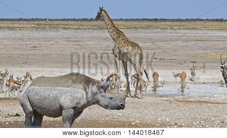 A busy waterhole in Etosha national park with a giraffe, black rhinoceros springbok and a gemsbok oryx