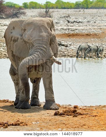 Elephant standing next to a waterhole with his trunk resting on his tusks with zebra in the background