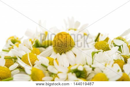 Medical daisy flower on a white background