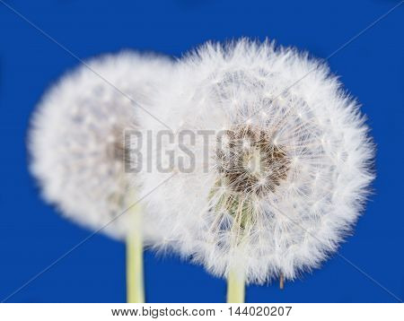 Dandelion  blowball flower on a blue background