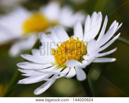 Chamomile close up. White daisy flowers. Shallow depth of field