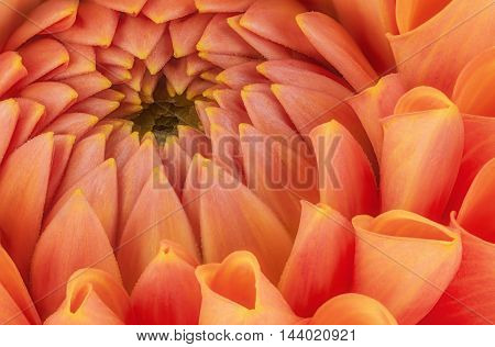Orange flower petals close up and macro of chrysanthemum beautiful abstract background.