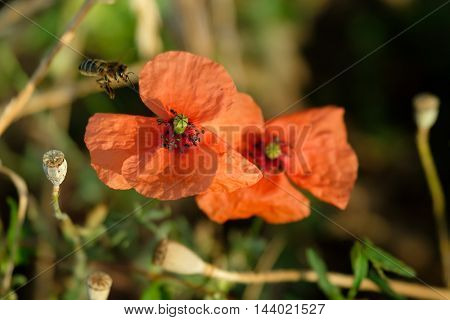 Bee pollinating a poppy in a meadow