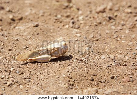 Isolated Locust in on the landscape in Damaraland - Namibia