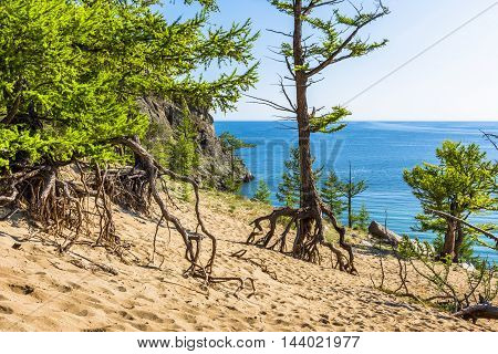 Larch, the roots of which rise high over the Sands of coastal dunes are called