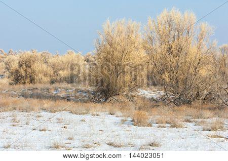Steppes Winter. Haloxylon
