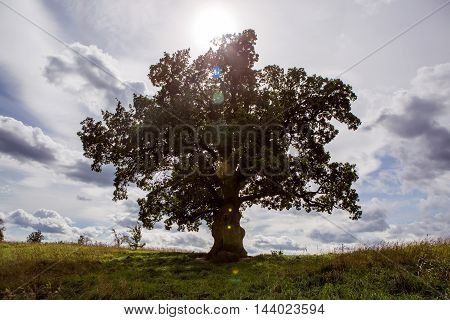 spreading a large oak tree stands in a field at sunset in summer on the background of sky with clouds