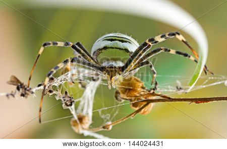 female spider Argiope Bruennichi in their natural habitat front view close-up. selective focus
