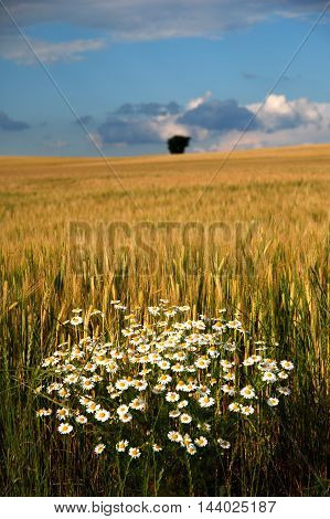 Flowering clump chamomile on the edge of field of corn