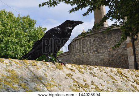 One of the Ravens from the Tower of London