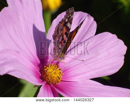 Butterfly sitting on pink flower in garden
