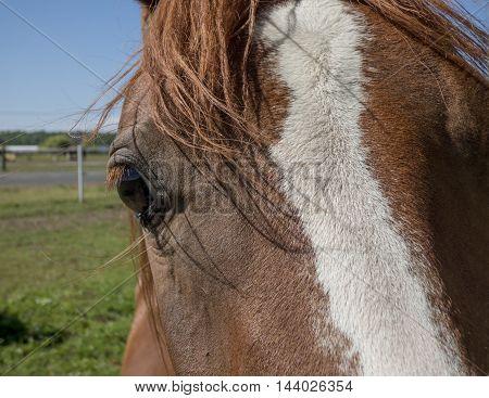 Brown horse head closeup look into eye