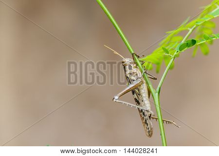beautiful Brown grasshopper caught on green branches.