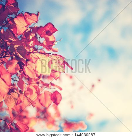 Gold autumn leafs over blue sky in a tree