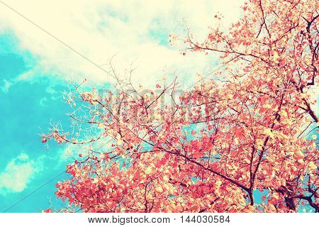 Red autumn leafs in a tree over blue sky