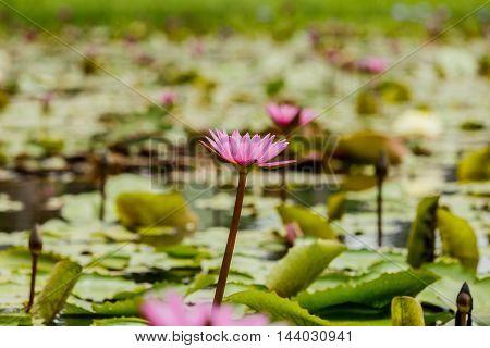 beautiful  blossom lotus flower focus on flower