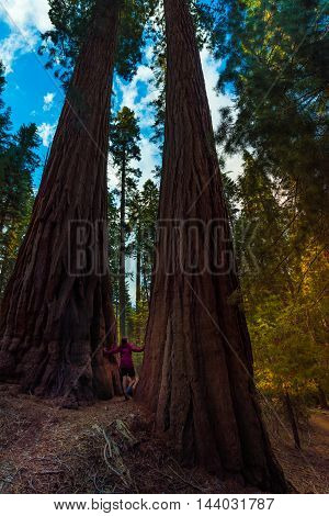 Hiker, Admiring Giant Sequoia Trees