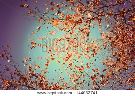 Brown leafs in a tree in autumn over blue sky