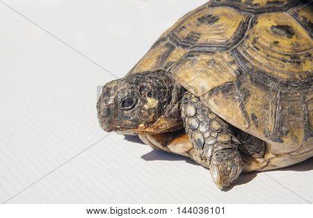 Testudo hermanni tortoiseon a white isolated background. Side closeup