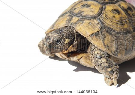 Testudo hermanni tortoise on a white isolated background. Side closeup