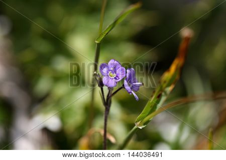 Flower of a leafless stemmed speedwell (Veronica aphylla)
