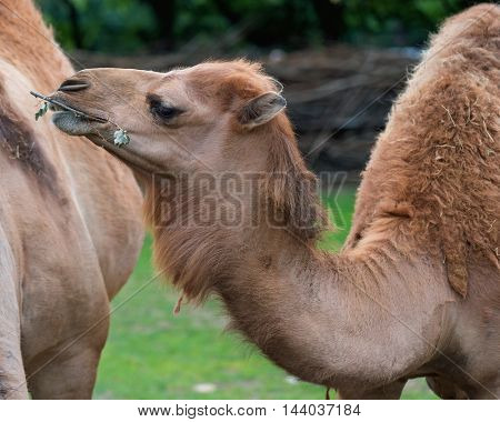 Close up portrait of camel. Beautiful animal eating grass with his mouth.
